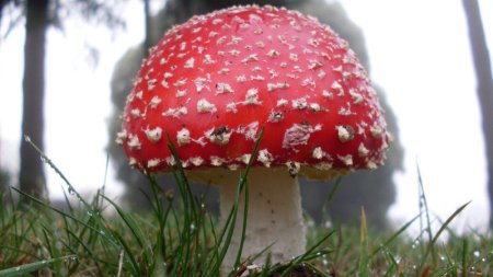 amanita-muscaria-mushroom_wide-625827afc5f0bf254b4cbb865dbde7871fd97a9e-s800-c85